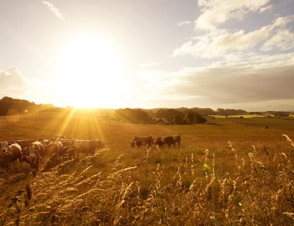 Sunrise over farm animals