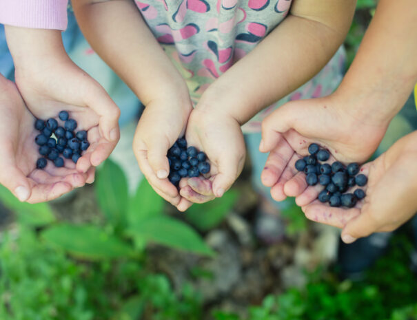 Close-up image of freshly picked wild blueberries in children's hands. Kids' fingers slightly stained blue from picking ripe organic blueberries in summer forest. Blueberry bushes on the background.